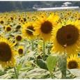 夏・向日葵