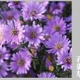 春・孔雀草