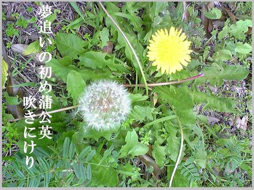 春・蒲公英