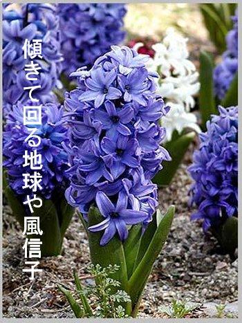 春・風信子