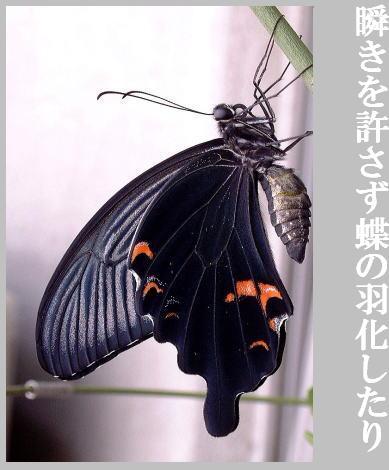 夏・蝶(あげは蝶)