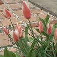 遅咲きチューリップの蕾